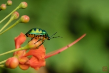 Jewel Bug