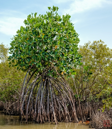 Mangrove: Tree Matches Size of Root System